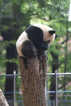 今日のパンダ(2179日目)   毎日パンダ