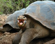 """Galapagos Tortoise...Looks like he is telling whom ever is taking the photograph """"Hello""""."""