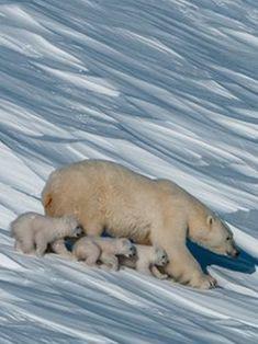 Mommy polar bear with her THREE little bears on tour!