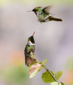 Frilled Coquette Fighting for Territory. Hummingbird Garden, Wildlife Conservation, Nature Animals, Hummingbirds, Beautiful Birds, Pet Birds, No Frills, Wings, Gardens