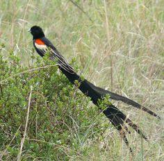 Long-tailed Widowbird(Euplectes progne)