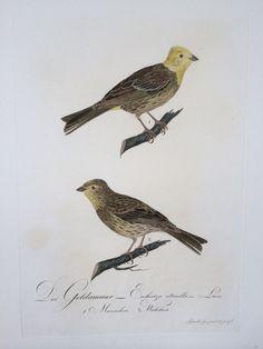 Buch: Der Goldammer - Emberiza citrinella, Linn. (Männchen und Weibchen auf einem Blatt).