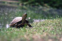 Tartaruga   Jardim Botânico - Porto Alegre - RS