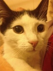 Panda is an adoptable American Shorthair Cat in Bethesda, DC. Hi, I'm Panda! I'm about 8 months old, and I'm ready to find a forever home. I like to hang out and be mellow sometimes, but I also know h...