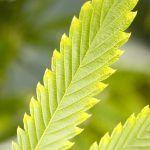 Fixing Marijuana Nutrients Deficiencies & Fertilizer Burn