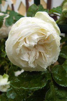 Bourbon/ Hybrid Noisette Rose: Rosa 'Madame François Pittet' (France, 1877)