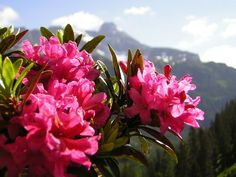 Almrausch am Katschberg Plants, Summer Vacations, Ski, Flora, Plant, Planting