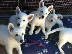 The IQ in this wire pen would put most humans to shame! - - - White Swiss Shepherd Dog puppies