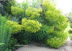 Euphorbia characias wulfenii= wolfsmelk, een groenblijvende vaste plant, .75-.100 , geelbloeiend maart – mei, kan op alle gronden. Een bijenplant, is giftig.