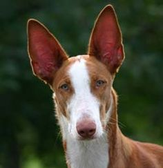 Ibizan hound. Looking for a companion for my current dog... Love this dog!