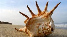 Sea Shell Mohawk