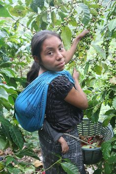 A woman picks coffee on a farm associated with the Maya Ixil coop. Maya Ixil coffee cooperative is a Fairtrade-certified coffee