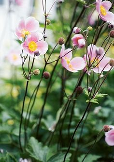 Japanese Anemones - I love this Autumn flower Beautiful Flowers, Outdoor Gardens, Flower Garden, Flowers, Garden Nest, Perennials, Country Gardening, Plants, Planting Flowers
