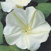 MORNING GLORY - Moonflower
