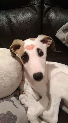 If I wore lipstick my whippet would look like this all the time.                                                                                                                                                                                 More