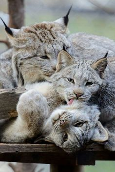 Canadian Lynx family