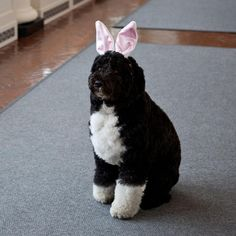 "Happy Easter, Bo ""The White House Dog""......"