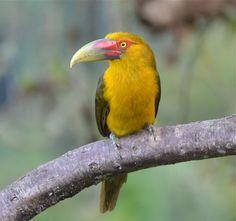 Birding Brazil: Itatiaia National Park, Rio de Janeiro: April 6-7, 2013