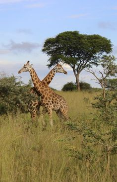 Plan your trip in #Uganda with this detailed itinerary report > http://www.legendarytrips.com/trip/uganda-tourism-explore-the-pearl-of-africa/  This 2-week trip was made in October/November 2014 and covers essential tourist locations such as Murchison Falls National Park and Jinja Uganda, as well as less visited areas.  Must-Dos: - Murchison Falls National Park - Lake Bunyonyi - Mgahinga Gorilla National Park - Jinja Source of the Nile & Lake Victoria