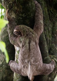 That's a big tree #aww #Cutesloths #sloths #boopthesnoot #cuddle #fluffy #animals #aww #socute #puppy #bestfriend #itssofluffy
