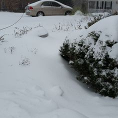 """Here there are two 24"""" pots chocked full of pitcher plants and flytraps rendered virtually invisible by the snow. #snow #winter #cold #garden #carnivorousplants #carnivoroustagram by carniflora"""