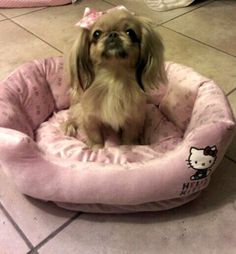my spoiled pekingese on her hello kitty bed (This picture is from my sister from another mister! A Sable Pekingese on a Hello Kitty bed?! We would be best friends! Or mortal enemies. -S)