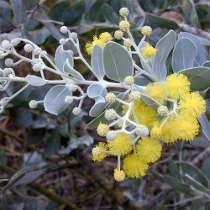 Mudas De Acacia Mimosa
