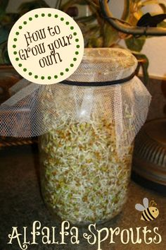 Learn how to grow Alfalfa Sprouts for sandwiches and salads!