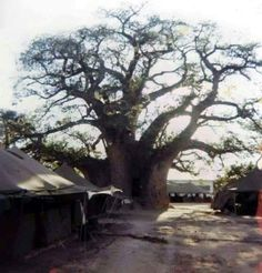 The famous Boabab tree at Ombalantu