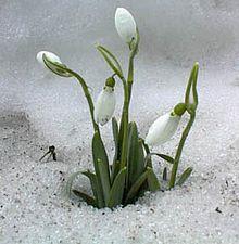 Frühling – Schneeglöckchen