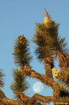 Joshua Tree and full moon, Pioneertown, California; photo by Ron Niebrugge