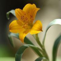 Alstroemeria pygmaea