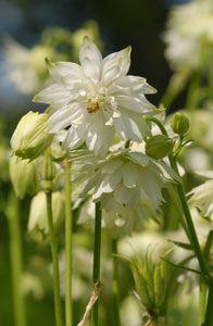 Aquilegia Vulgaris-Hybride 'White Barlow' - Gefüllte Akelei, Blütezeit:5 - 7 Höhe:60 cm - 80 cm
