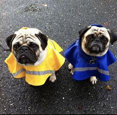 My 2 pugs in their raincoats ☔️ French Bulldog Breeders, French Bulldog Facts, French Bulldog Blue, Baby Raincoat, Baby Pug Dog, Bulldog Puppies For Sale, Pug Love, Animales