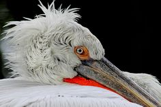 Dalmatian pelican close-up by Rainer Leiss on 500px