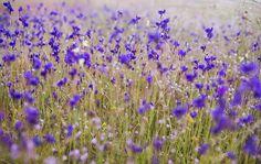 ทุ่งดอกไม้ภูอานม้า อุบลราชธานี http://goo.gl/UCJCLo