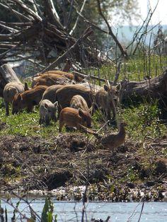 female pheasant Partizani, Delta Dunării Danube Delta, Pheasant, Romania, Hiking Boots, Mountains, Female, Country, Nature, Travel