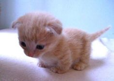 Watch along as the adorable Scottish Fold Munchkin kitten, Mishka, meets her family for the first time. Cute Kittens, Cats And Kittens, Ragdoll Kittens, Kitty Cats, Baby Kitty, Sleepy Kitty, Tabby Cats, Bengal Cats, Cute Baby Animals