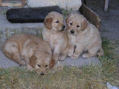 3 gossos Labrador Retriever, Objects, Retro, Dogs, Animals, Labrador Retrievers, Animais, Animales, Animaux