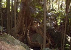 Inside an Australian Rainforest - the roots of the tree have grown right around the rocks