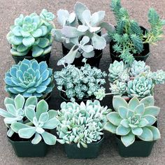 Silver Succulent Collection: A selection of frosty colored succulents in shades of white, cream, pale greens, grays, and blues. Makes beautiful wintery holiday centerpieces and decorations. Great for container gardens, indoor use, or weddings. These plants are drought tolerant. $39.95 (http://mountaincrestgardens.com/silver-succulent-collection/)