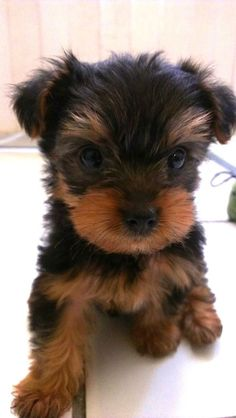 Picture of Draco, a Yorkshire Terrier dog on Dogster Super Cute Puppies, Cute Baby Dogs, Cute Little Puppies, Cute Dogs And Puppies, Cute Little Animals, Yorky Terrier, Yorshire Terrier, Perros Yorkshire Terrier, Baby Animals Pictures