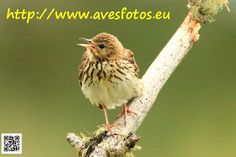 Bisbita arbóreo - Anthus trivialis