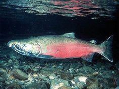 Blog de Santo Afonso: Petróleo afeta embriões de peixes, diz estudo