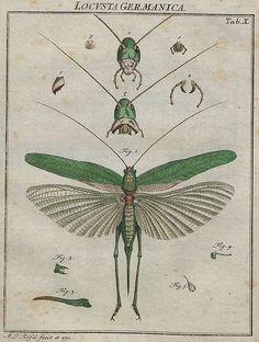 locusta germanica V.2 a by peacay, via Flickr
