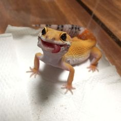 Run, Gecko, run: гибридный механизм движения по во. - Run, Gecko, run: гибридный механизм движения по воде у геккон - Baby Animals Super Cute, Cute Little Animals, Cute Funny Animals, Leopard Gecko Cute, Cute Gecko, Lepord Gecko, Leachie Gecko, Leopard Gecko Habitat, Crested Gecko