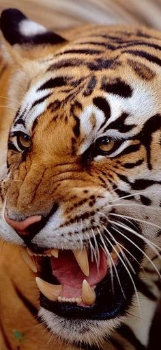Most Beautiful Animals, Beautiful Cats, Big Cats, Cool Cats, Lynx Du Canada, Animal Espiritual, Savage Animals, Big Cat Family, Animals And Pets