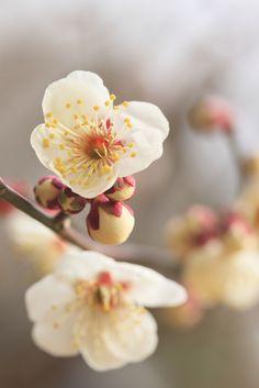 https://flic.kr/p/byvrMk | Japanese apricot. | (^_-)-☆  昭和記念公園にて