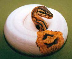 A stunning Piebald Ball Python