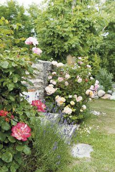 KALKSTENSHUS MED ORANGERI: Birgitta tog med sig fyra Austinrosor från Stockholmsförorten Bromma och sin lavendel som hon inte kunde skiljas ifrån och alla plantor trivs utmärkt här | Lantliv